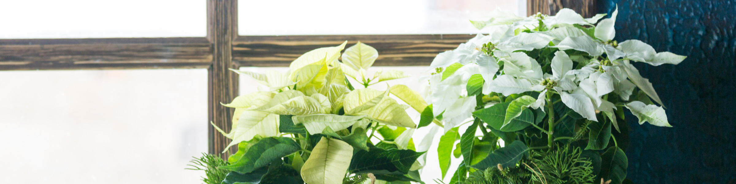 FAQ Header Image Poinsettia Sales