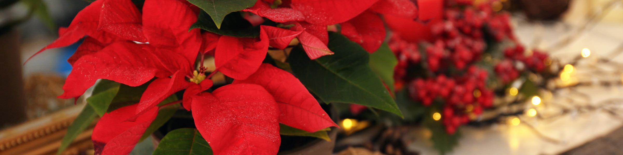 Privacy Policy Header Image Poinsettia Sales