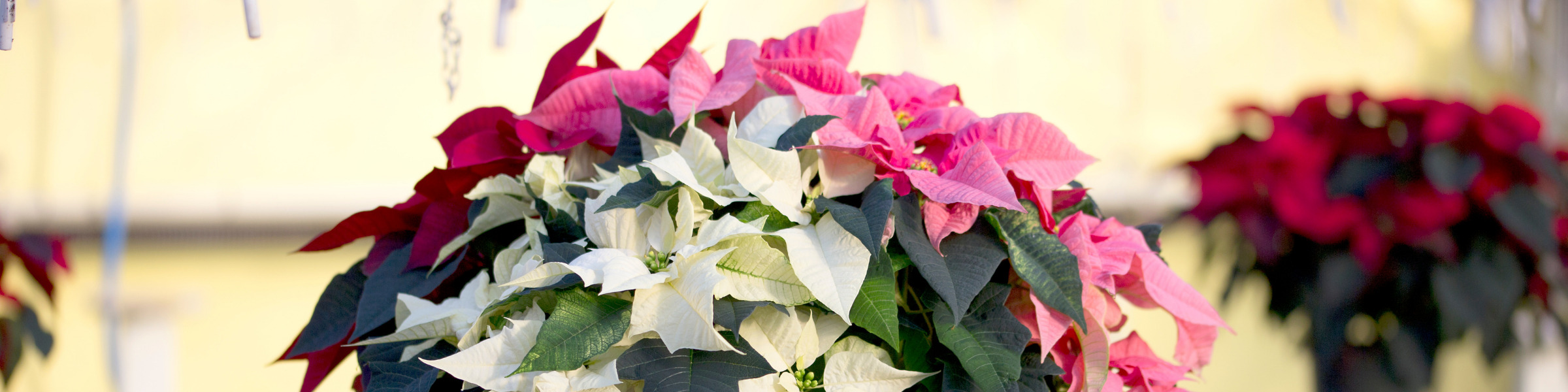 Terms of Use Header Image Poinsettia Sales